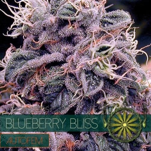 BLUEBERRY BLISS 10 SEMI